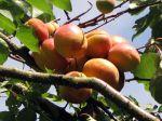 Abricotier (Abricot), Prunus armeniaca , Armeniaca vulgaris