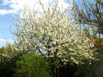 Cerisier, Prunus cerasus
