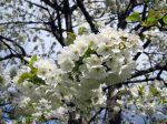 Fleurs du cerisier