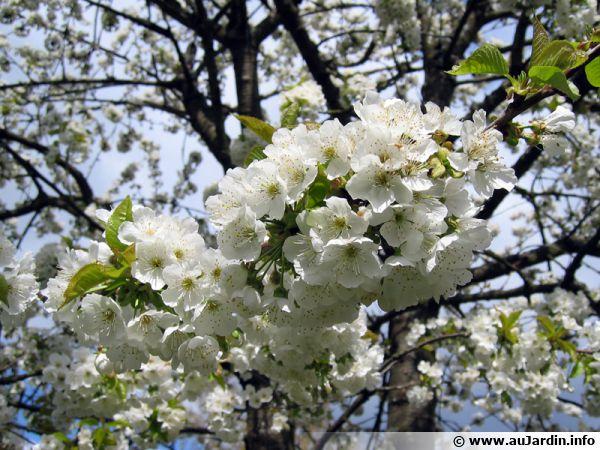 La pollinisation des arbres fruitiers
