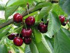 Prunus cerasus et Prunus avium (cerisiers)