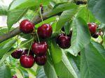 Cerisier (Cerise), Prunus cerasus