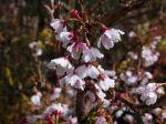 Cerisier japonais, Prunus incisa 'Kojo No Mai'