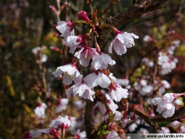 cerisier japonais  prunus incisa   conseils de culture