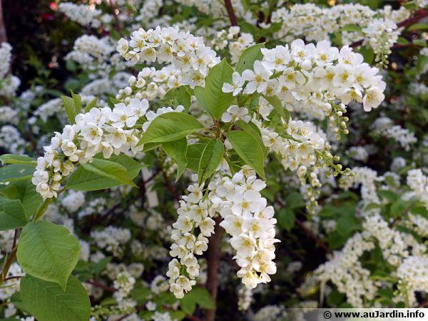 cerisier grappes bois puant prunus padus planter cultiver. Black Bedroom Furniture Sets. Home Design Ideas