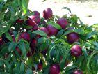 Nectarinier et ses nectarines, Prunus persica