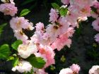 Amandier de Chine, Amandier à fleurs, Prunus triloba