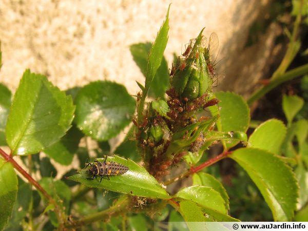 Les pucerons sont indispensables aux larves de coccinelles
