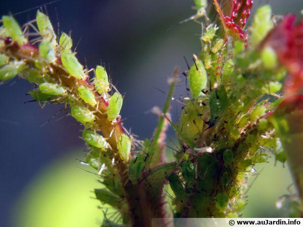 Invasion de pucerons verts sur une plante, que faire naturellement pour les combattre ?
