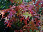 Chêne des marais, Quercus palustris