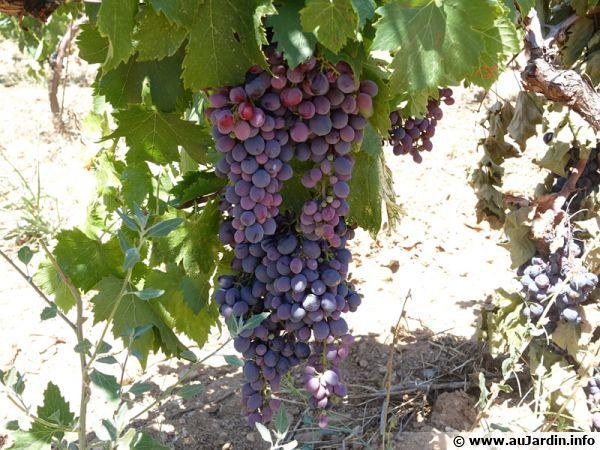 Sous le rond fruit, se cachent de nombreuses propriétés thérapeutiques qui font du raisin un allié santé !