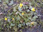 Ficaire fausse-renoncule, Herbe aux hémorroïdes, Ranunculus ficaria