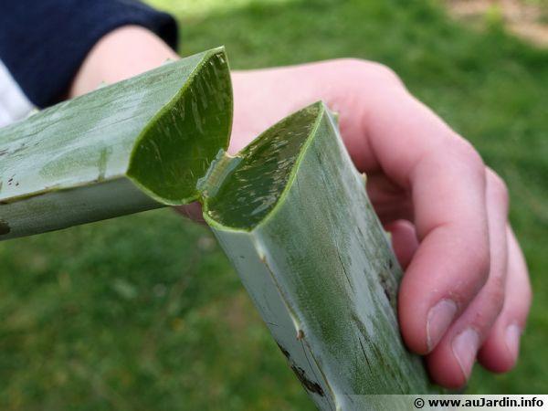 Feuille coupée d'un Aloe vera