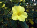 Lin jaune arbustif, Reinwardtia indica