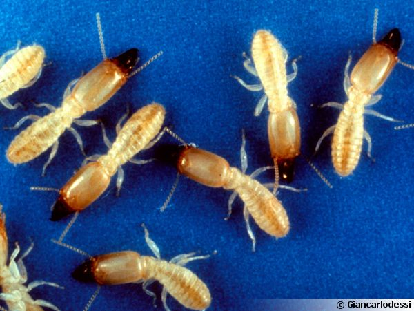 Reticulitermes flavipes (anciennement R. santonensis), le termite de Saintonge, originaire d'Amérique du Nord mais fréquent dans le Sud-Ouest de la France