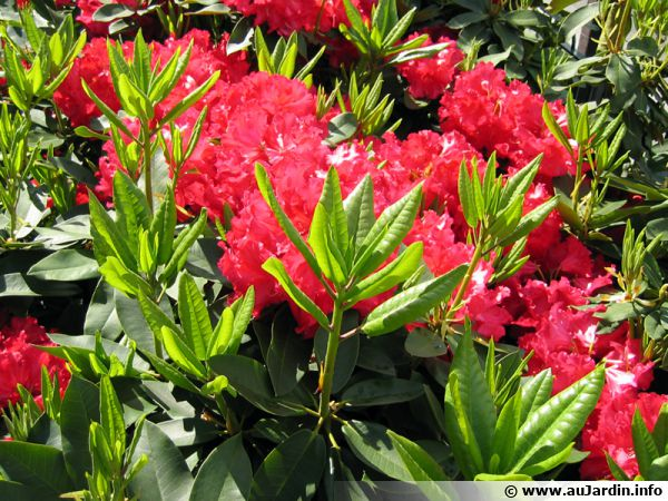 rhododendron azalea planter cultiver multiplier. Black Bedroom Furniture Sets. Home Design Ideas