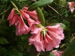 Rhododendron auriculé, Rhododendron auriculatum