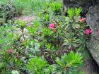 Rhododendron ferrugineux, Rhododendron ferrugineum