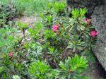 Fleur du rhododendron ferrugineux