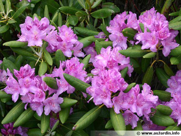 Rhododendron de la mer noire, Rhododendron pontique, Rhododendron ponticum