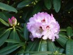 Rhododendron de Su-Tchuen, Rhododendron du Sichuan, Rhododendron sutchuenense