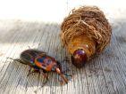 Charançon rouge du palmier, Rhynchophorus ferrugineus