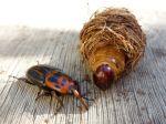 Les coléoptères, apion, lucane, cétoine, carabe