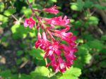 Fleurs du groseillier à fleurs