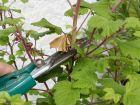 La taille des arbustes à floraison printanière