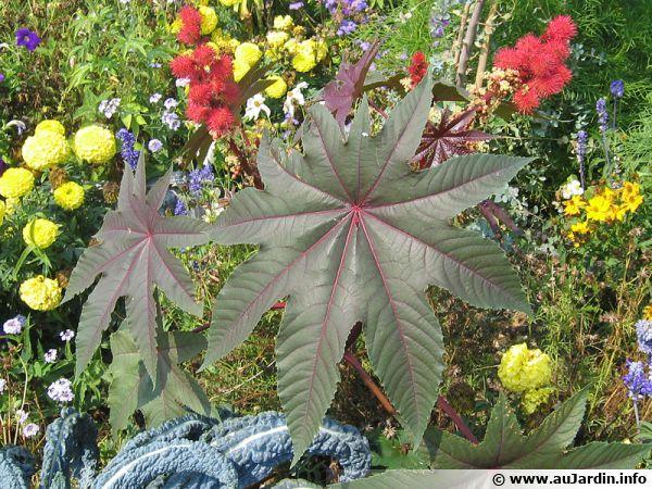 Les feuilles et les fruits sont originaux chez le ricin mais gare à la plante qui est toxique