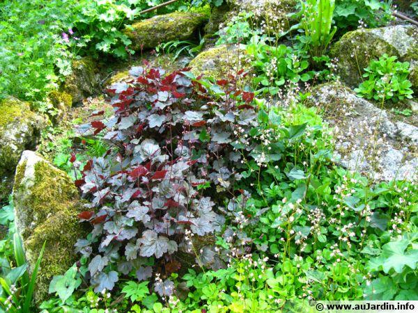 Heuchères, tiarelles, et heucherellas idéales en rocaille ou leurs feuillages font sensation