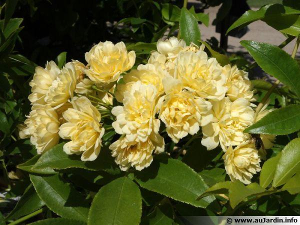 Rosier de Branks Lutea aux fleurs jaunes