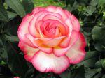 Histoire de la rose et du rosier (suite)