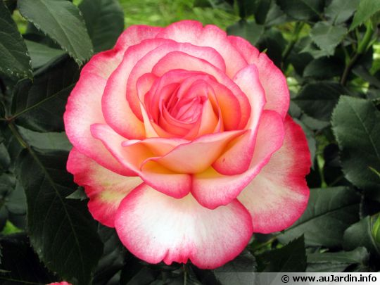 [JEU] Trolle ton VDD Rosa-fleur-540x405