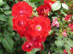Fleurs de rosier en massif