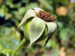 Fruit du rosier, Cynorrhodendron