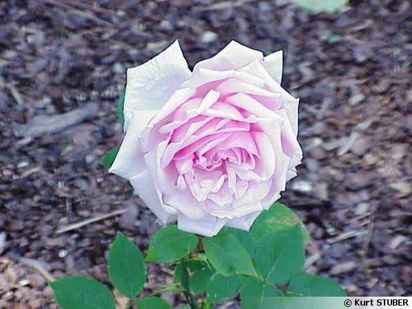 'La France' cultivar de rosier créé en 1867 par Jean-Baptiste Guillot (1803-1882), dit Guillot fils