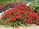 Massif de rosiers