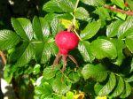 Cynorhodon du rosier rugueux