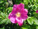 Rosier rugueux, Rosier du Japon, Rosa rugosa
