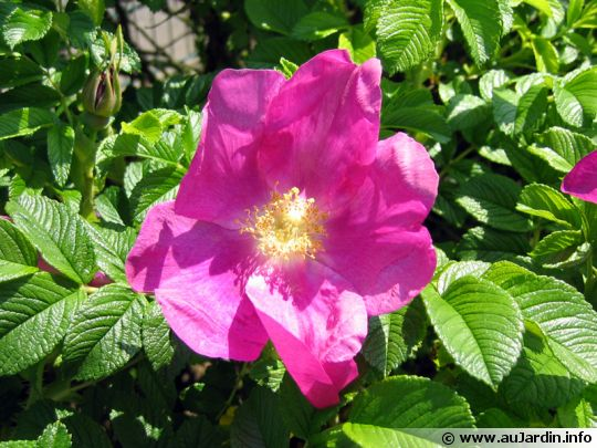 Rosier du japon for Entretien rosier nain interieur