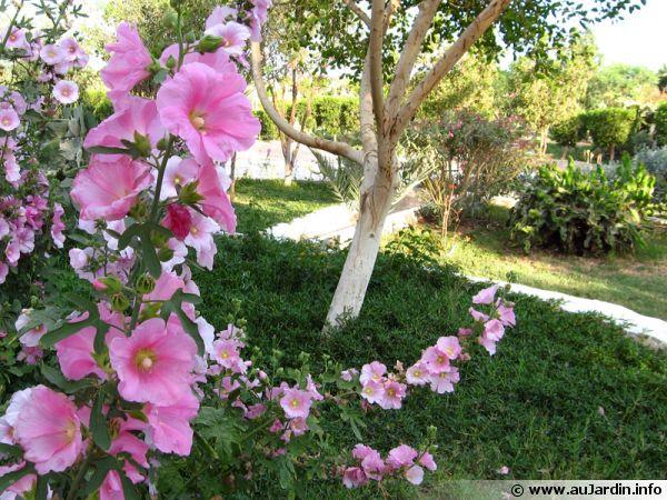 Les roses trémières apportent fleurs et hauteur au jardin
