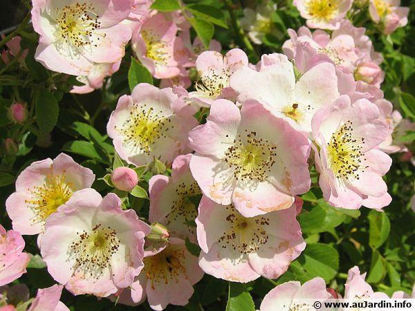 Un rosier aux fleurs simples