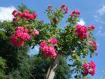 Le rosier tige, plantation, entretien et taille
