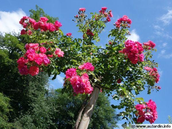 Un rosier tige
