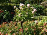 Habiller le pied des rosiers