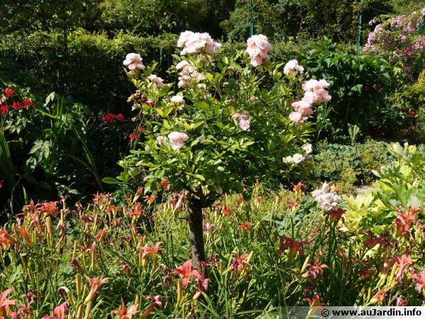 Des hémérocalles habillent le pied du rosier