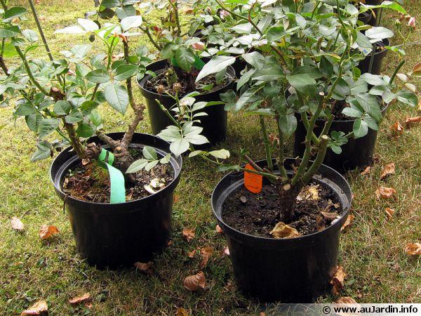 Des rosiers cultivés en conteneurs