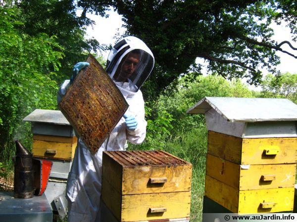 La ruche ouverte avec ses cadres verticaux