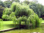 Saule pleureur, Salix babylonica